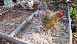 chicken playground dust bath