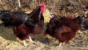 alpha hen chicken behavior pecking order