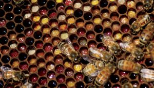 bees stored pollen feeding honeybees