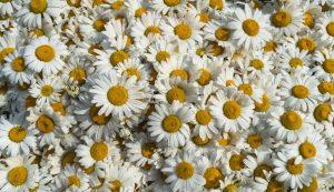 chamomile can aid in depression