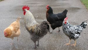 poultry resolutions