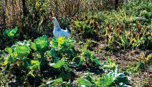 chickens winterize garden gardening