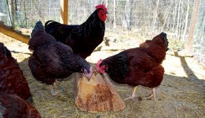 chickens firewood food winter bugs protein