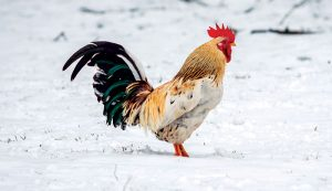 chickens winter care rooster snow