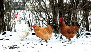 chickens hens winter care