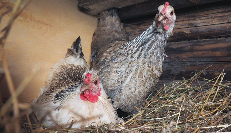 chicken tips for getting started