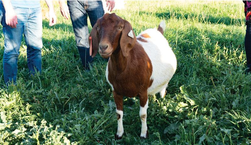 combes farm goat