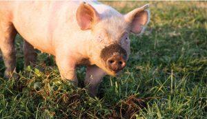 Combes Farms pig