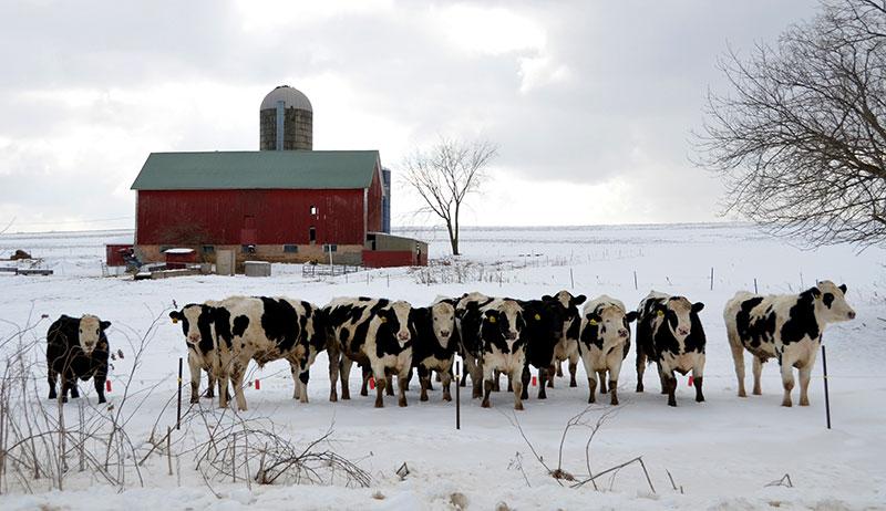 cows cattle winter livestock