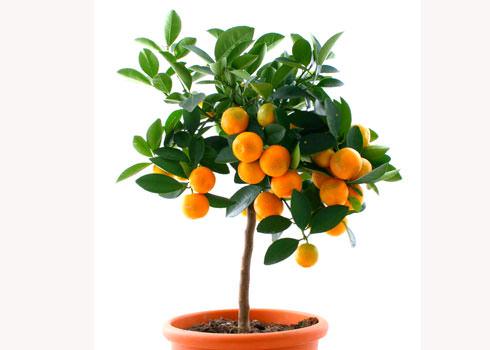 dwarf citrus tree