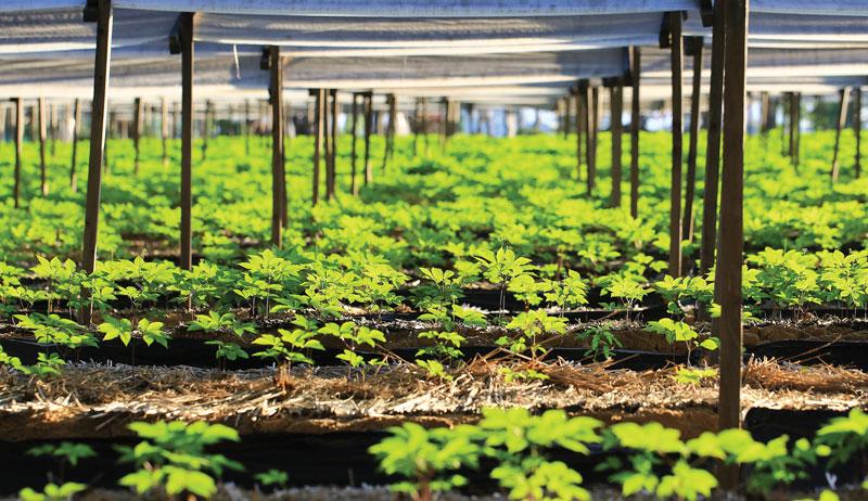 grow ginseng under shade cloth