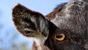 goat eye ear sight and hearing livestock barber's pole worms