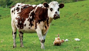 grass farming cattle chickens livestock health
