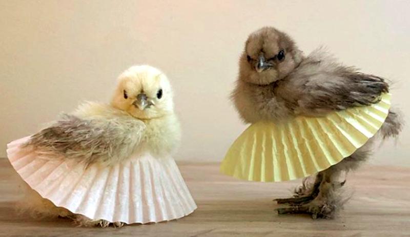 silkie chicks happy hen haven