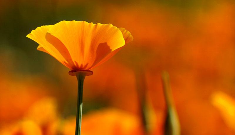 california poppy herbal sleep remedies