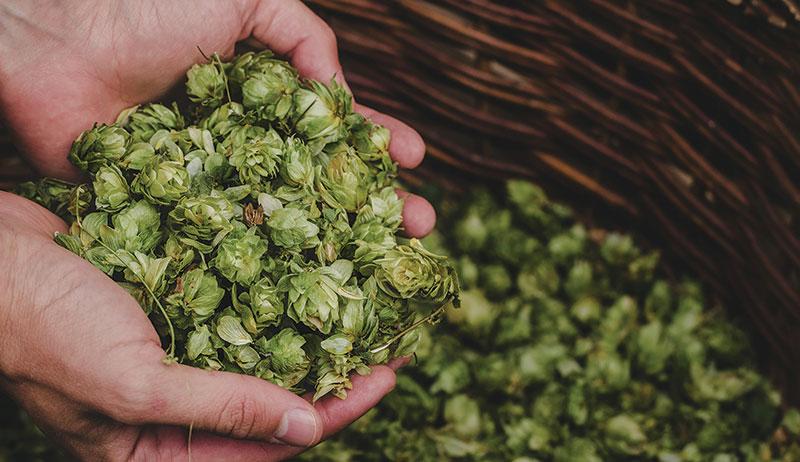 hops herbal sleep remedies