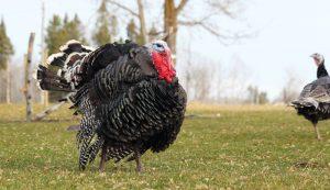 get started raising turkeys
