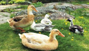 start raising ducks