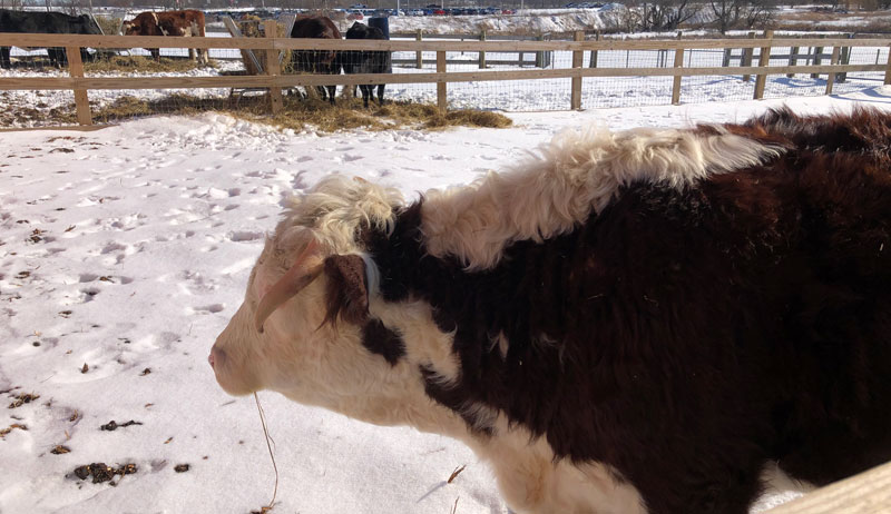 Mike the Cow at Barn Sanctuary