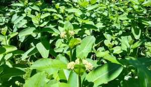pollinators milkweed plants