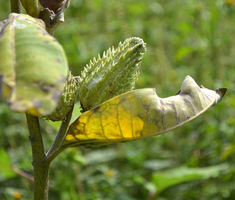 monarch butterfly monarchs milkweed pod