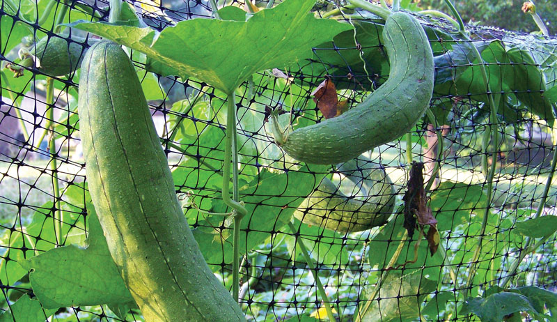 luffa gourds on a fence