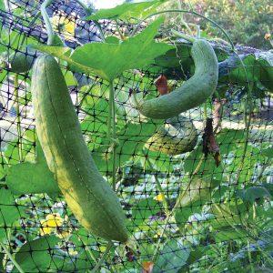 luffa gourds on fence