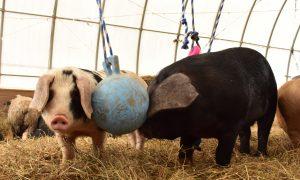 pig-richment