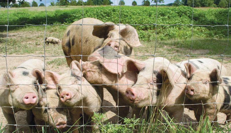Pigs raised for pork