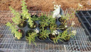 tray of plant starts