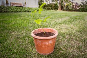Saving saplings by potting