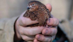 The quail of Alchemist Farm