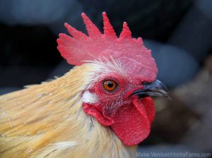 chickens real life chicken stories