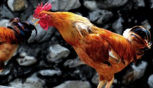 rooster chicken crowing noise