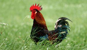 rooster grass chicken