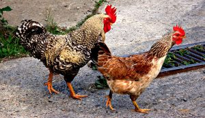 rooster hen chickens