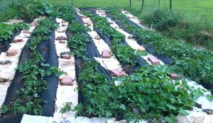 Rows of Sweet Potatoes
