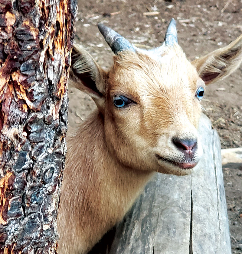 say cheese goat