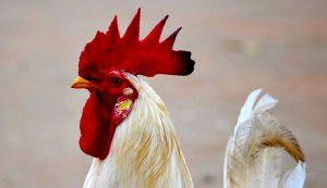 white rooster chicken