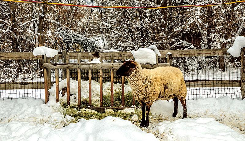 winter livestock feeding sheep cattle goats