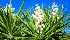 yucca plant medicinal herbs