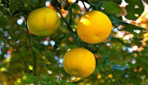 yuzu lemons