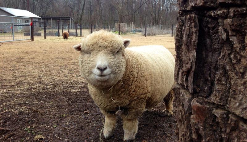southdown babydoll sheep 1818 farms