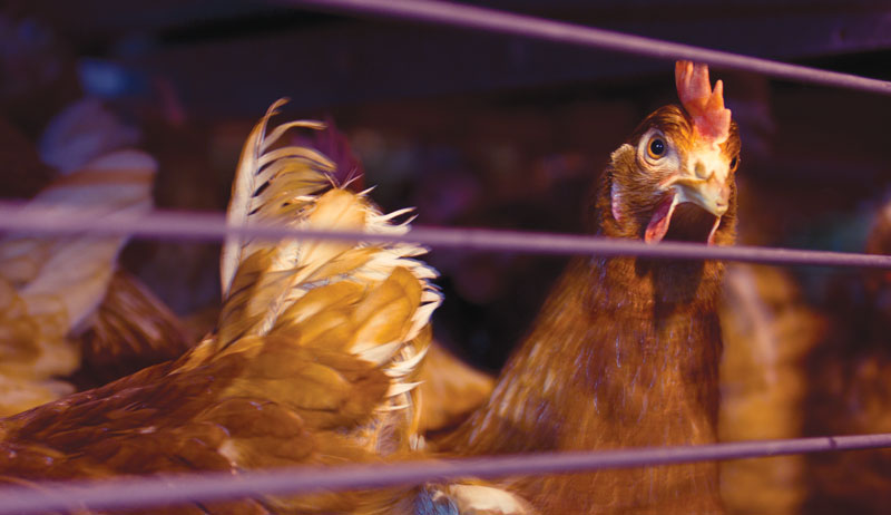 rescue hens battery animal poultry welfare