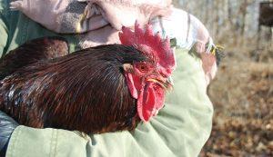 chicken first-aid kit chickens