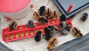 chicken chicks purchasing buying new