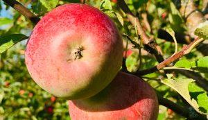 fall crop harvest apple