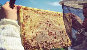 Astor Apiaries urban beekeeping bees apiary
