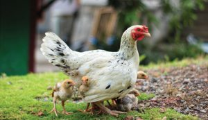 15 Tips To Protect Your Chickens From Predators