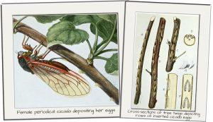 cicada cicadas brood x